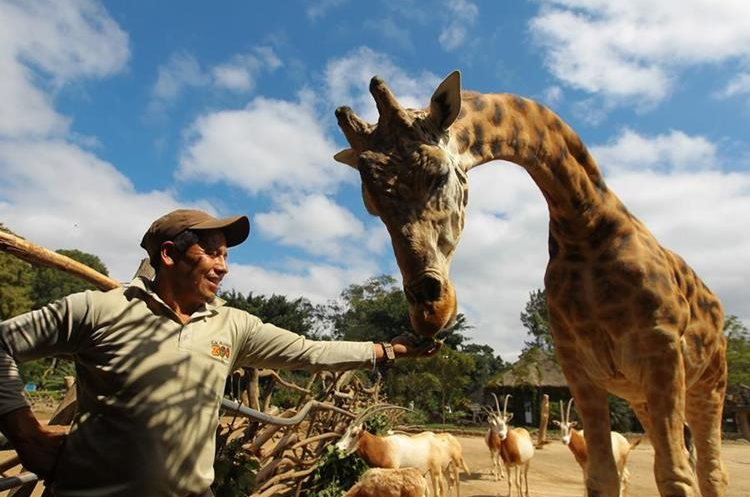 Julio Canel es uno de los cuidadores de la jirafa Pepo del Zoológico la Aurora.