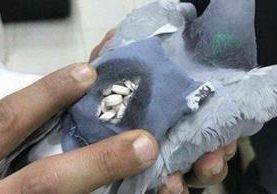 Paloma interceptada en Kuwait trasladaba 178 píldoras de la droga éxtasis. (Foto Prensa Libre: Twitter)
