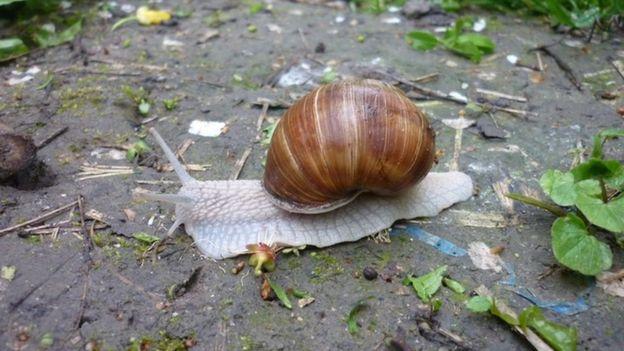 La mayoría de los caracoles son inofensivos, pero algunas especies pueden dar unos buenos golpes.  (Foto Prensa Libre: Getty Images)