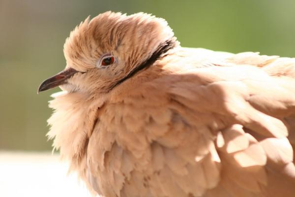 <p>La paloma tenía los mensajes amarrados en sus patas. (Foto Prensa Libre: Archivo)</p>
