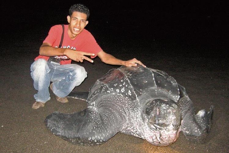 Las tortugas de la especie baule pueden llegar a medir dos metros de largo y pesar más de mil libras.