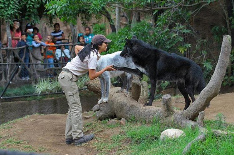Lourdes Fernández dedica unas cuatro horas diarias en el cuidado de la pareja de lobos. (Foto Prensa Libre: Álvaro Interiano).