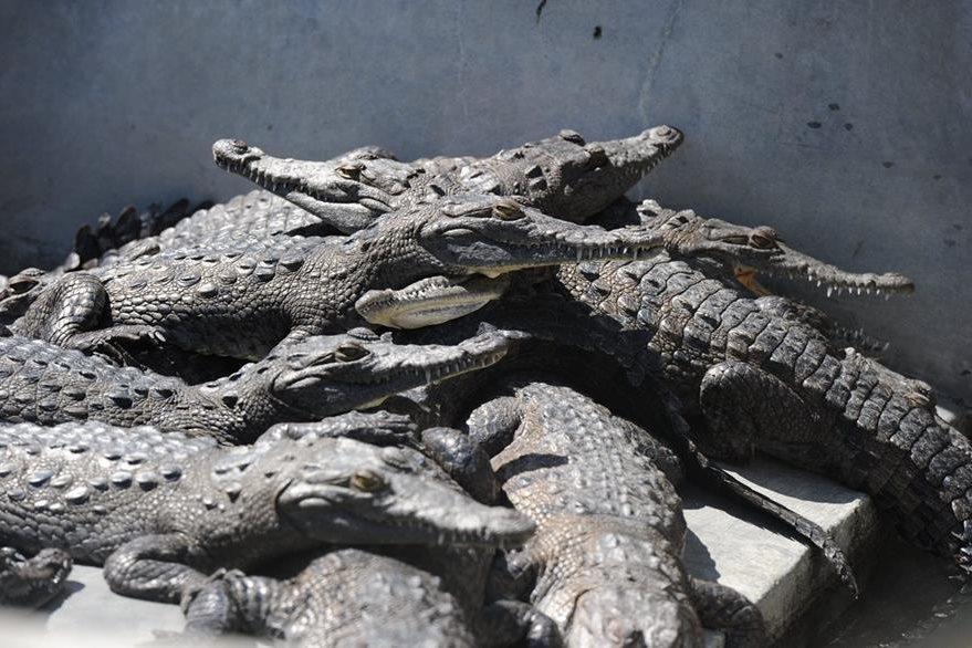 Cocodrilos hambrientos en una piscina de la reserva en Honduras. (Foto Prensa Libre: AFP).