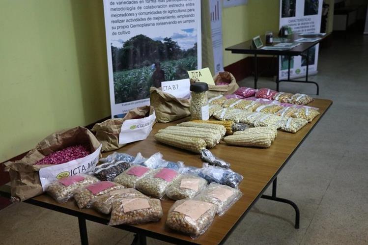 Las dos semillas nuevas serán entregadas en seis departamentos del altiplano para mejorar la producción de maíz. (Foto Prensa Libre: María Longo)