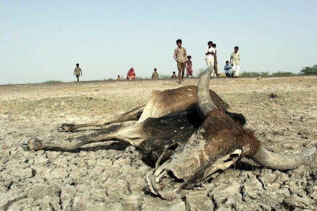 Una res yace muerta en un suelo indio en un área donde alguna vez corrió agua. (Foto Prensa Libre: Hemeroteca PL).