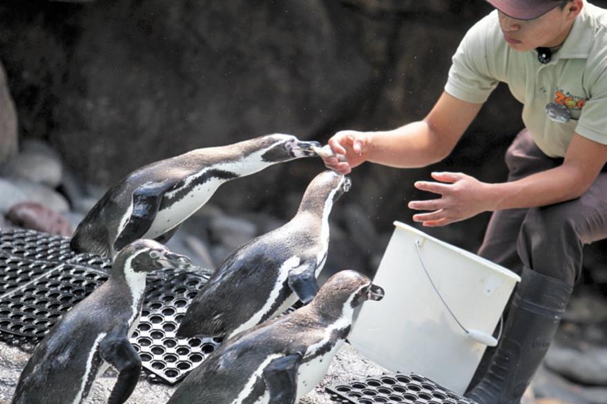 Los pingüinos comen pescado importado.