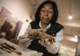 En el Parque de Las Leyendas se han encontrado 138 cráneos de perros y 134 de humanos desde 2012. (Foto Prensa Libre: Ernesto Benavid Es/ Getty Images)
