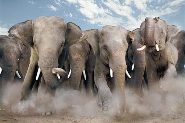 Los elefantes invaden las granjas y terrenos  en busca de agua. (Internet).