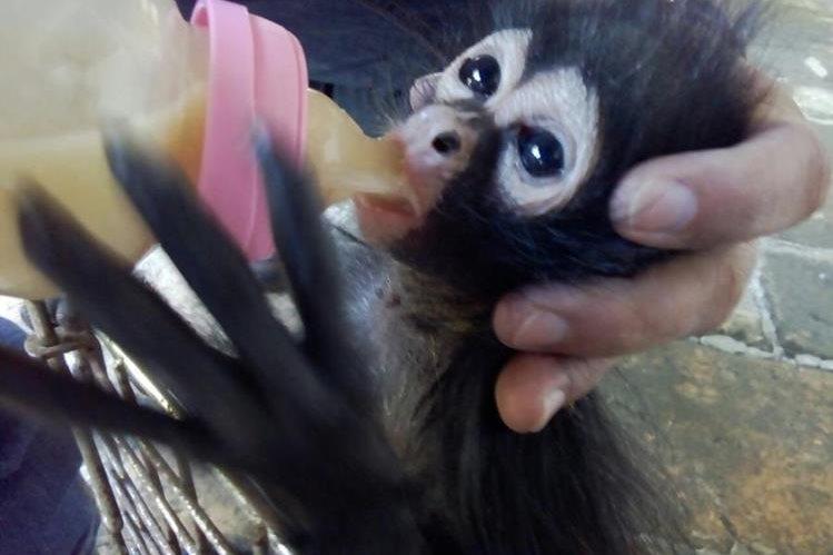 El mono araña fue rescatado en la 4ta. calle entre 8a. y 9a. avenida, zona 4, de Cobán, Alta Verapaz. (Foto Prensa Libre: Cortesía)