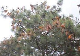 Los pinos en los árboles del bosque María Tecún en Sololá, lucen amarillos en las copas. (Foto Prensa Libre: Ángel Julajuj)