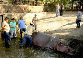 """Personal del zoológico de El Salvador atendiendo al hipopótamo """"Gustavito"""".(EFE)."""