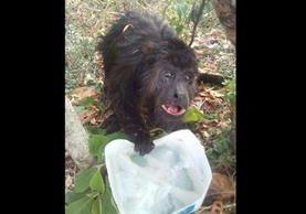 El mono aullador logró bajar de un árbol afectado por un incendio forestal en la Reserva de la Biósfera Maya.