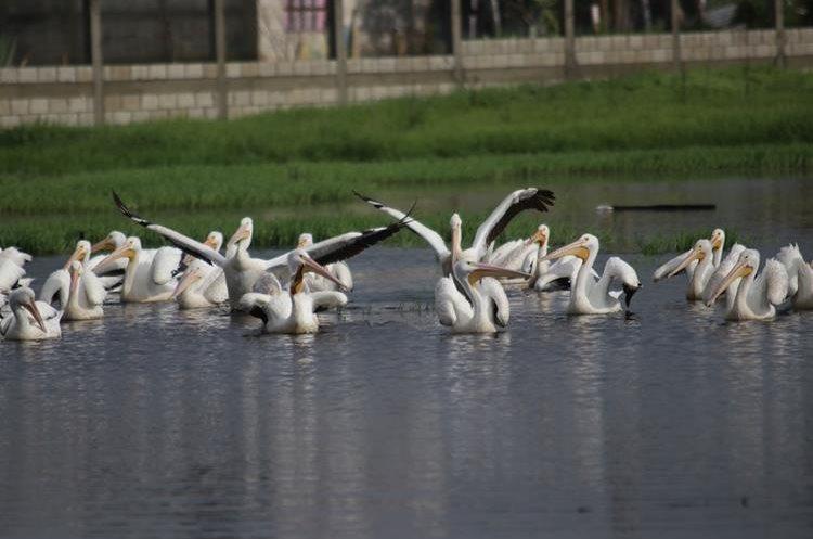 Después de descansar unas horas las aves alzaron el vuelo y se marcharon. (Foto Prensa Libre: Mike Castillo)