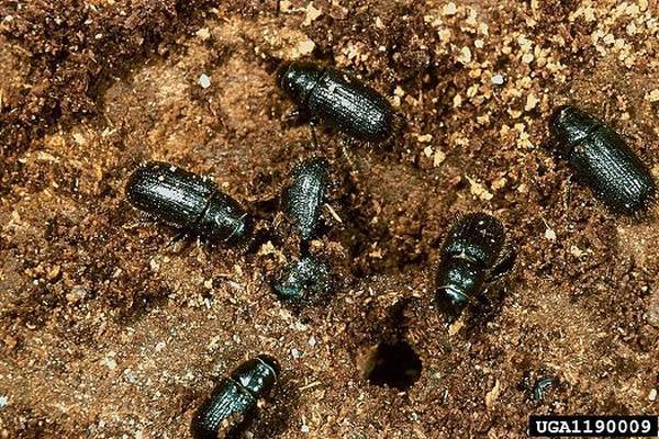<p>El escarabajo asesino está tiñiendo de rojo el manto verde que se extiende desde Nuevo México a Alberta (Canadá)</p>