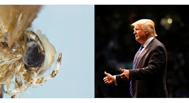 Una nueva polilla recibe el nombre de Donald Trump por imitar su peinado.