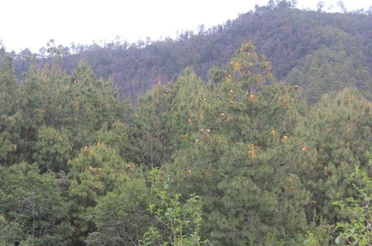 Pobladores de Sololá y Chimaltenango están preocupados por el hongo en los árboles. (Foto Prensa Libre: Ángel Julajuj)