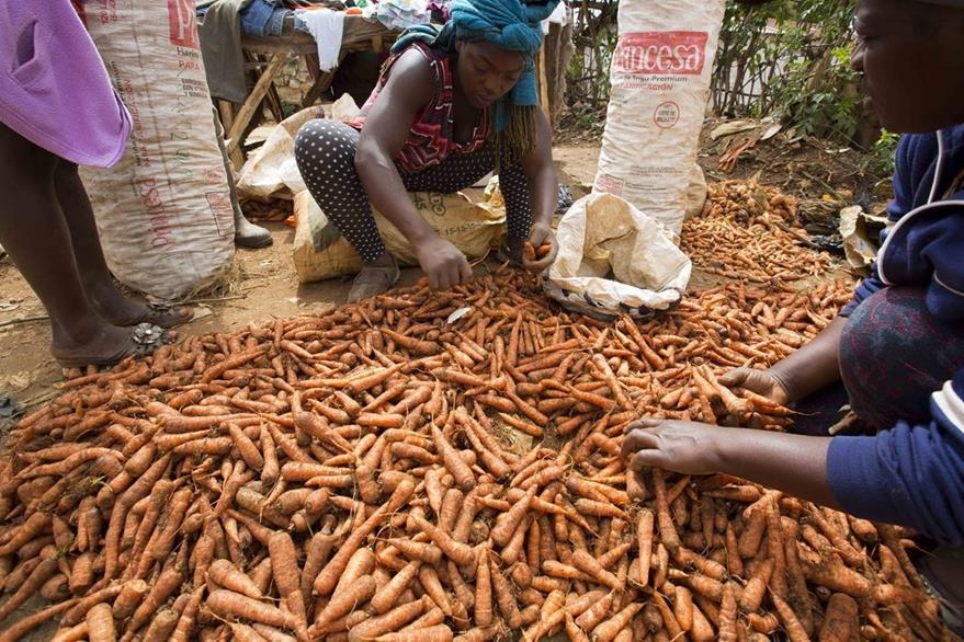 Las zanahorias que cultivan con tanto sacrificio ahora están secas. (Foto Prensa Libre: AP).