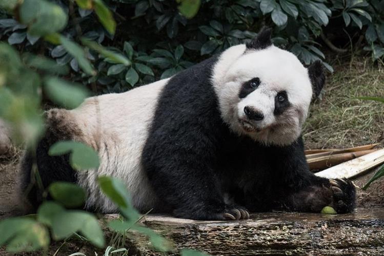 """Fallece panda gigante """"Jia Jia"""" en zoológico de Hong Kong. (Foto Prensa Libre: AFP)"""