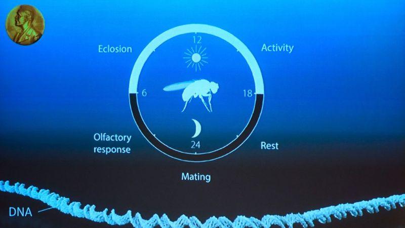 Los científicos descubrieron el mecanismo molecular del reloj biológico estudiando el fenómeno en la mosca de la fruta. (AFP/Getty Images).