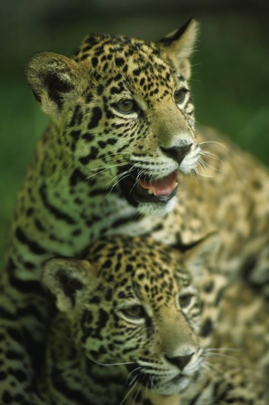 Los jaguares son una especie en peligro de extinción. (Foto Prensa Libre: Ricky López Bruni)
