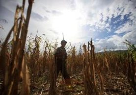 En el Valle del Polochic se perdió el 50 por ciento de la cosecha de maíz, por efectos de la falta de lluvia y la larga canícula en el 2015. (Foto: Hemeroteca PL)