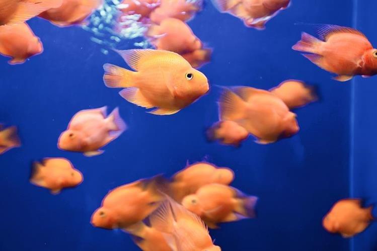 La tensión arterial y el ánimo mejoran cuando se admiran los peces, según estudio. (Hemeroteca Prensa Libre)