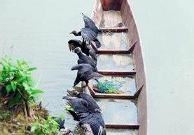 Aves de  rapiña comen peces muertos en el río La Pasión, en Sayaxché, Petén. (Foto HemerotecaPL)