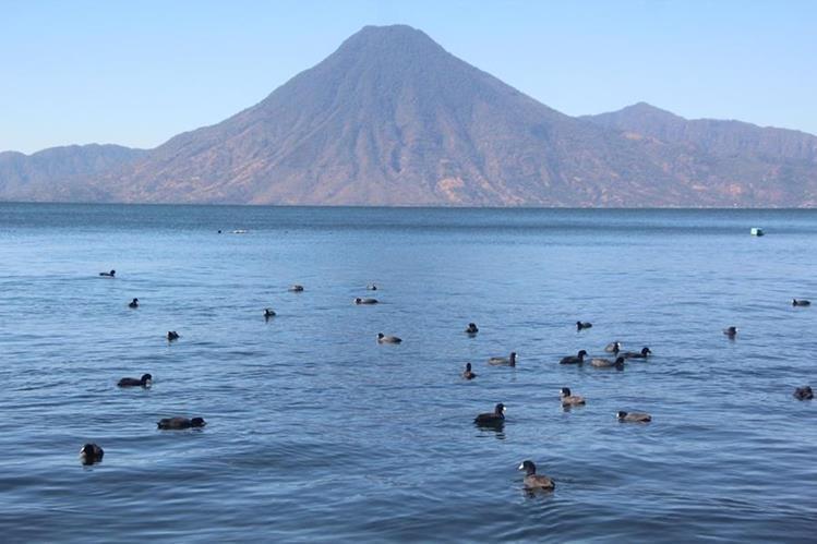 El pato gallareta corre riesgo de desaparecer del Lago de Atitlán, Sololá. (Foto Prensa Libre: Ángel Julajuj)