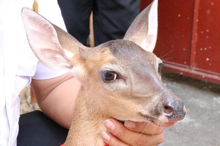 El animal fue localizado en una colonia de la zona 3 de Mazatenango. (Foto Prensa Libre: Cristian Icó)