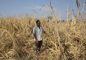 Un agricultor inspecciona su cosecha de caña de azúcar detruida por la sequía. (Foto Prensa Libre:AP).