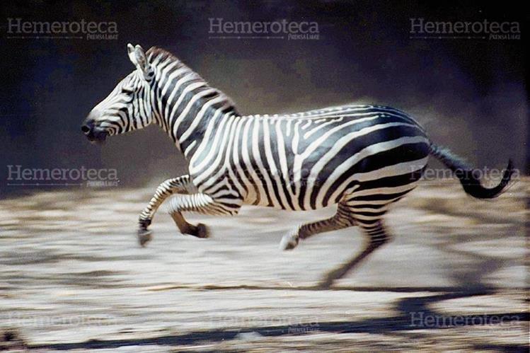 Líneas en movimiento se observan cuando la cebra corre a gran velocidad. (Foto: Carlos Sebastián)