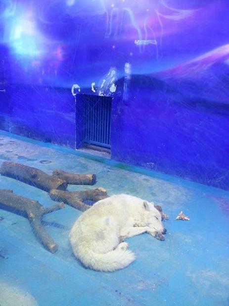 Un lobo ártico en el acuario. (Foto: Animal Asia).