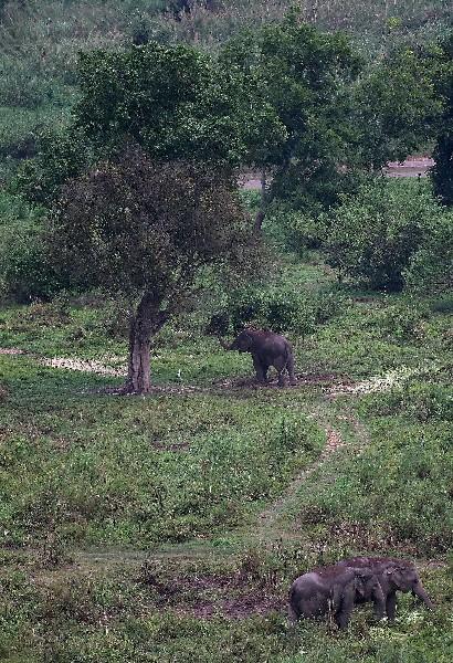 Elefantes en la finca  Black Ivory Coffee. (Foto Prensa Libre: AFP)