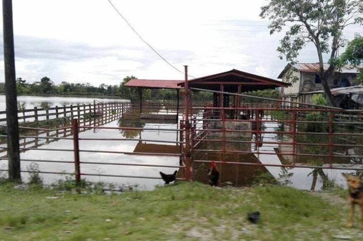 Fincas de ganado han sido inundadas en Morales Izabal. (Foto Prensa Libre: Dony Stewart)