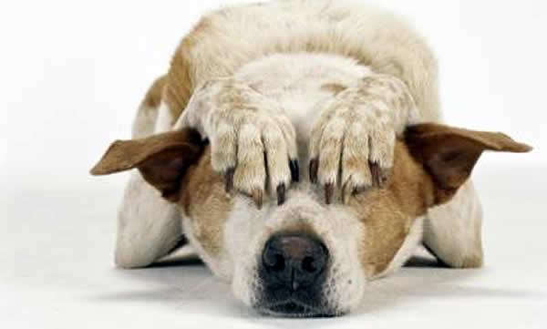 Perros y gatos tienen una gran sensibilidad auditiva, así que les afectan los fuegos artificiales.