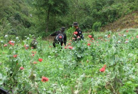 Policías erradican sembradíos de amapola en una montaña. (Foto Prensa Libre: PNC)