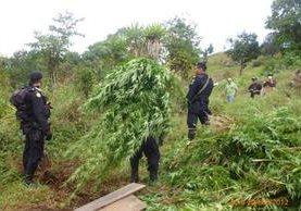 <p>Según el informe policial, las matas de marihuana fueron incineradas. (Foto Prensa Libre: Édgar Leonel Domínguez)<br></p>