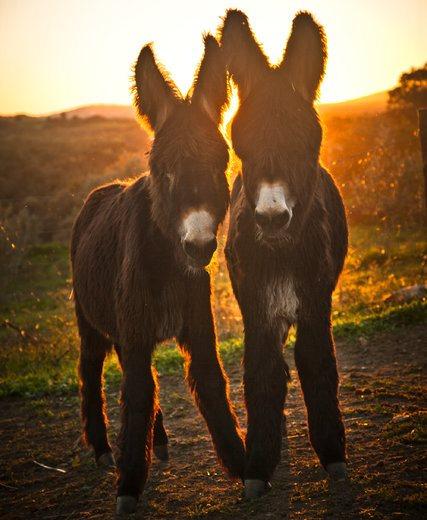 Dos pequeños burros mirandés. (Foto Prensa Libre: The New York Times)