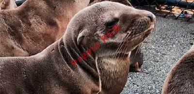 Cada vez más se observan leones marinos muertos en las costas californianas lo que alarma a organizaciones ambientalistas.