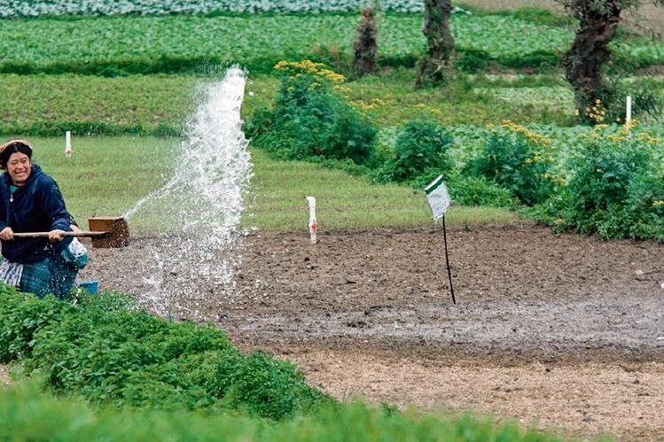 Agricultores de Almolonga riegan sus cultivos hasta dos veces al día, pues en la mayor parte de esa región hay nacimientos de agua que evitan problemas durante canículas o sequías.