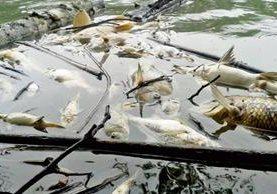En un sector del río La Pasión, en Sayaxché, Petén, se puede observar gran cantidad de peces muertos, por contaminación. (Foto Prensa Libre: Eduardo Sam)