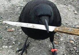 Canuck es conocido por sus ataques y llegó incluso a robar un cuchillo de la escena de un crimen. (Foto Prensa Libre: The Crow And I /Facebook)