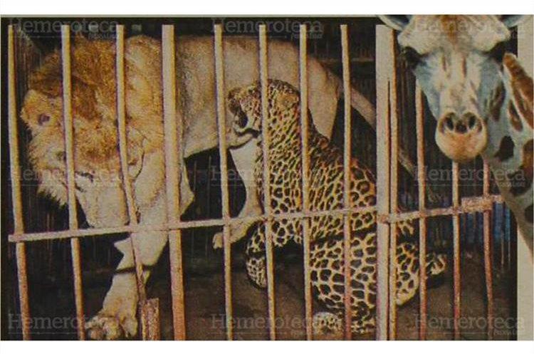 Animales salvajes despiertan emociones y aplausos de los espectadores, cuando son presentados por sus domadores 8/9/2001. (Foto: Hemeroteca PL)