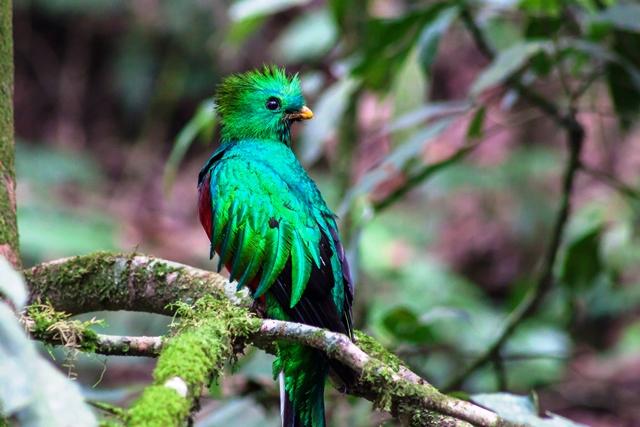 El quetzal captado en su hábitat natura en San Marcos. (Foto Prensa Libre: Aroldo Marroquín)