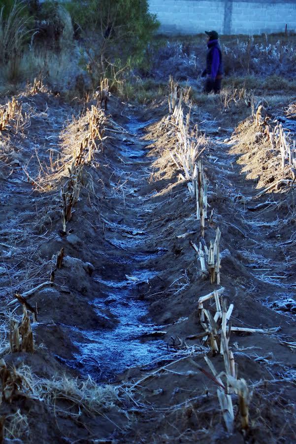 Cultivos en Quetzaltenango han resultado dañados por bajas temperaturas. (Foto HemerotecaPL: Carlos Ventura)
