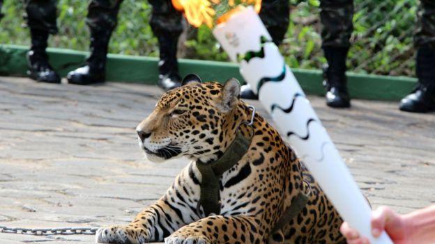 Un jaguar que participaba en una ceremonia con la antorcha olímpica en Manaos se escapó y tuvo que ser sacrificado. (AFP)