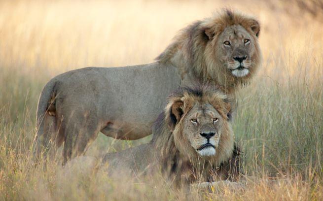 Jericó, de pié, aparece junto a Cecil en el parque nacional de Zimbabue. (Foto: El Mundo España).