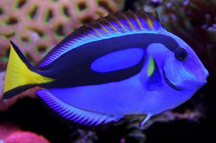 Un pez cirujano en un acuario. (Foto: reefstudio.es).