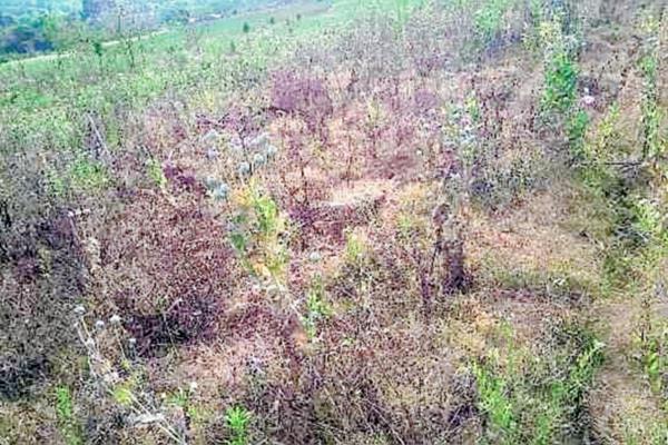 Una de las áreas donde fue destruida la amapola en Santiago Sacatepéquez. Sacatepéquez. (Foto Prensa Libre: PNC)