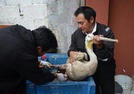 Bomberos Voluntarios de Cantel acudieron al rescate de un pelícano herido. (Foto Prensa Libre: Stereo 100 Xela)
